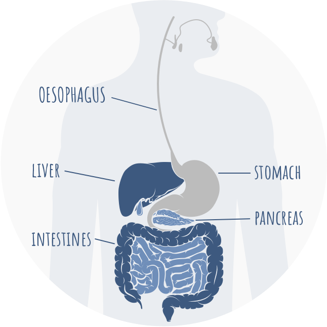Graphic of intestinal tract indicating where the pancreas is